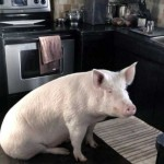 This Is What Can Happen When You Adopt A Micro Pig